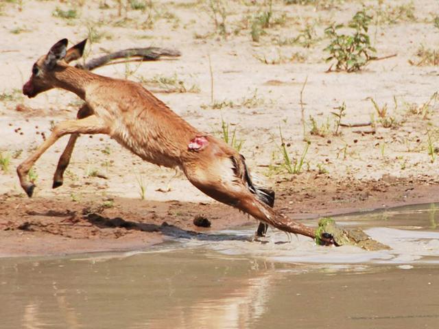 crocodile-bites-impala-leg