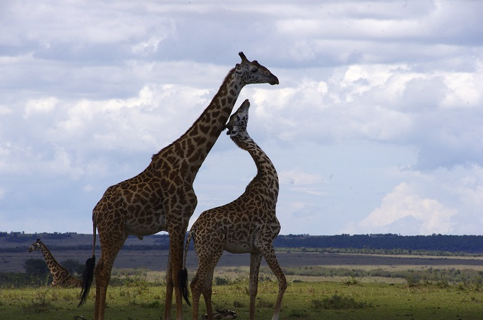 25 Things You May Not Know About Giraffes Africa Geographic