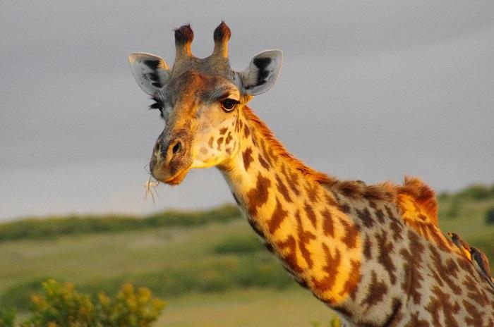 giraffe-sunlit-portrait