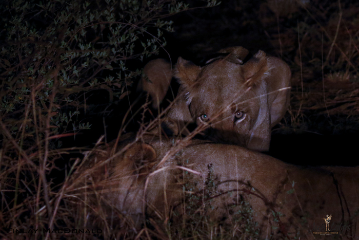 lions-at-night