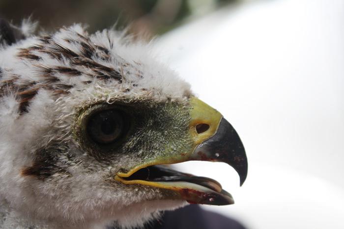 black sparrow hawks
