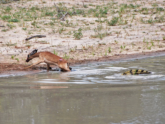 impala-escapes-crocodile
