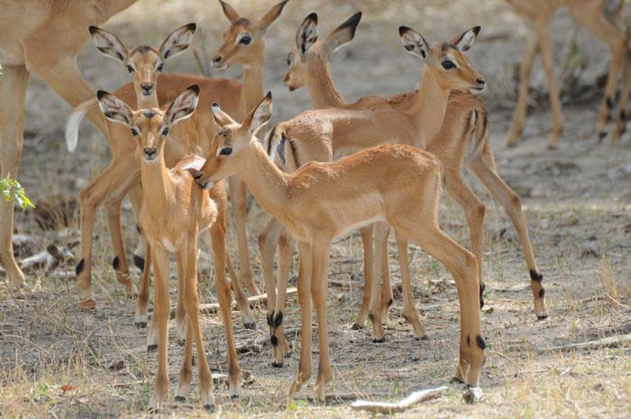 impala-young-at-chobe-national-park
