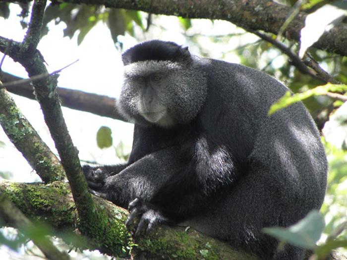 Kakamega-Forest_Debrazza-monkey