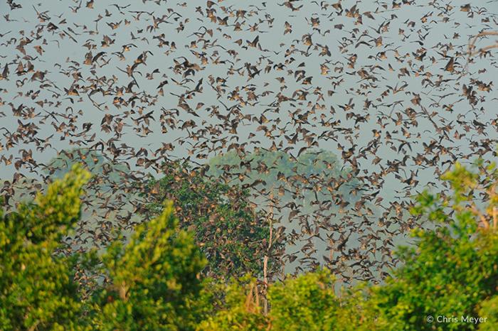 kasanka-bat-migration