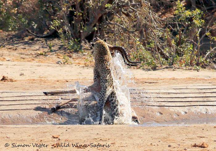 leopard-dragging-prey