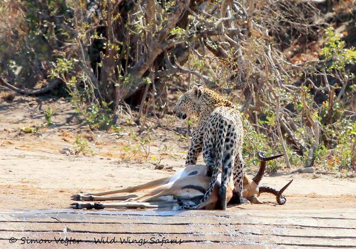 leopard-on-top-of-prey