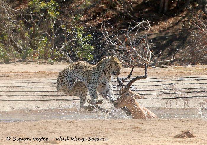 leopard-catching-prey