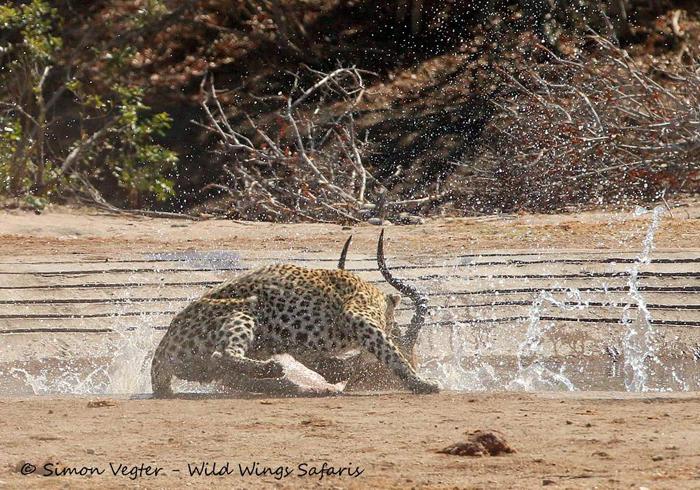 leopard-takes-down-prey