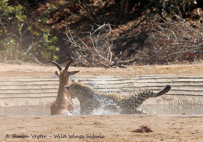 leopard-scrambling
