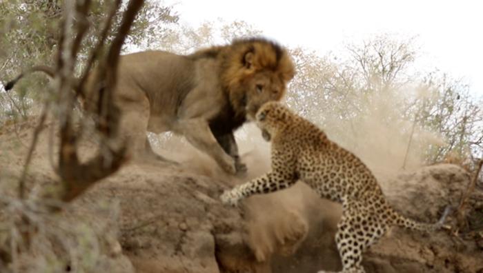 Lion Leopard attack Sabi Sands