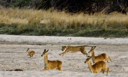 lion-hunt-luangwa-sept-2016-7-of-29
