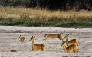 lion-hunt-luangwa-sept-2016-7-of-29