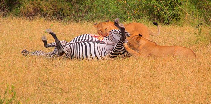lions-with-zebra-by-rebecca-benson