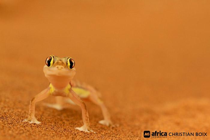 palmato-gecko-namib-desert