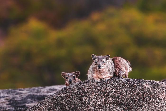 rock-hyrax