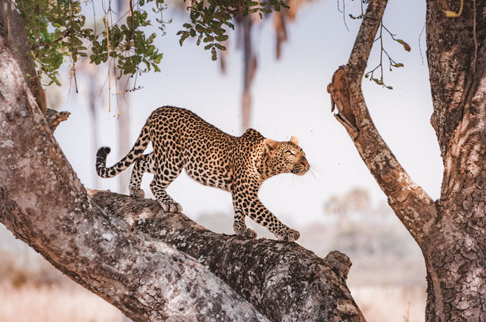 leopard-in-sausage-tree