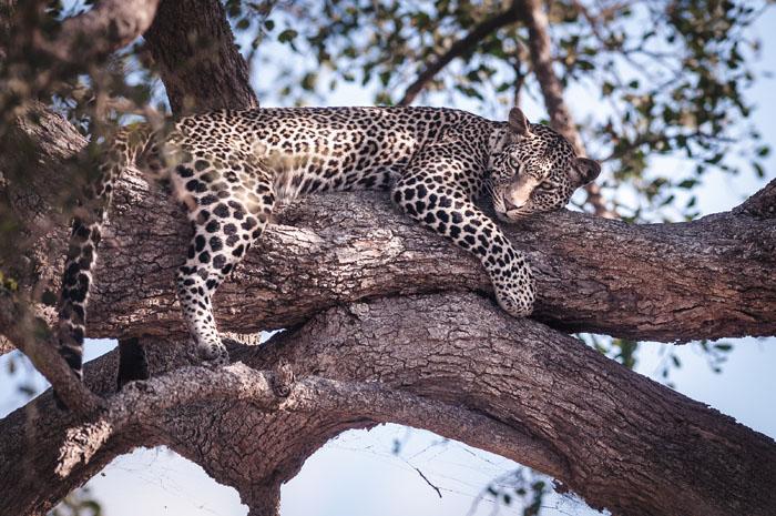 leopard-relaxing-tree