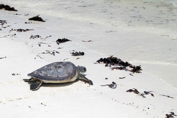 watamu-turtle-2