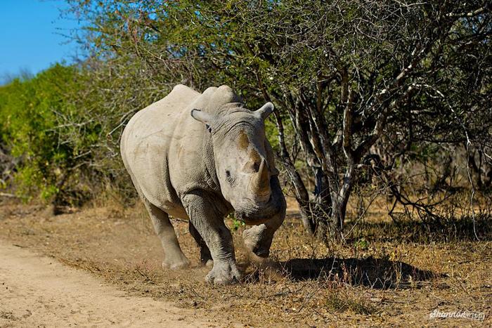 white-rhinoceros-ceratotherium-simum-charge-south-africa