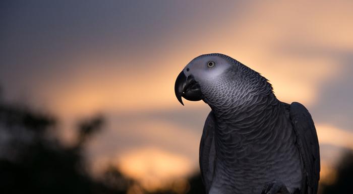 african-grey