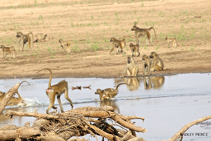baboon-running-in-water