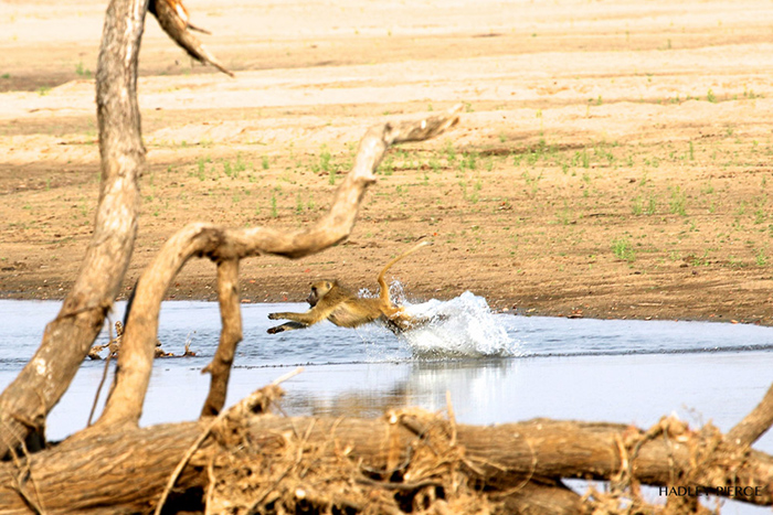 baboon-splashes-in-water