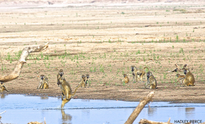 baboon-standing-in-water