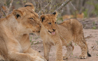 baby-lion-and-mom