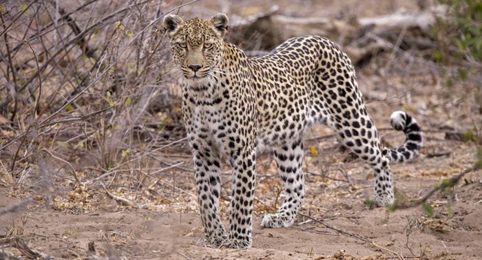 full-view-leopard