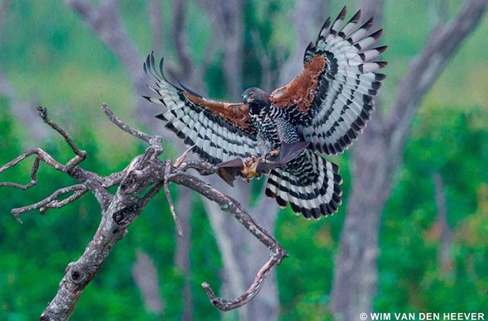 eagle-catching-bat-in-kasanka