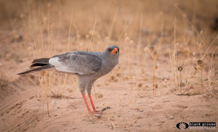 birdlife-kgalagadi