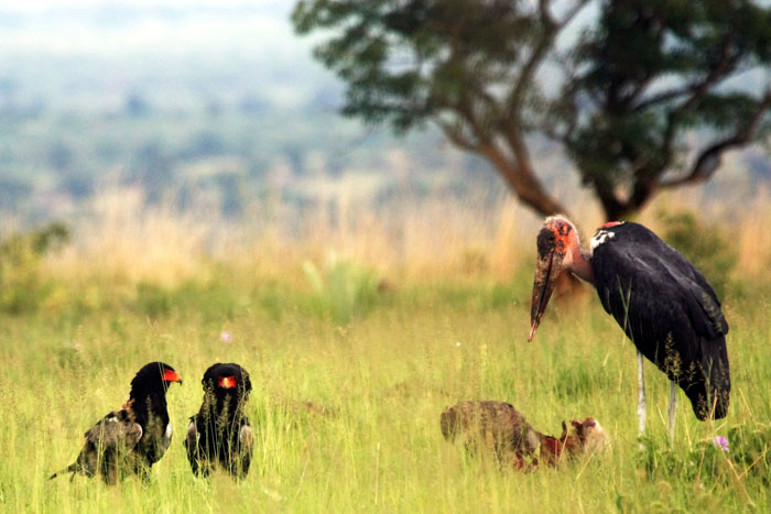 Marabou Stork next to two Bateleur Eagles