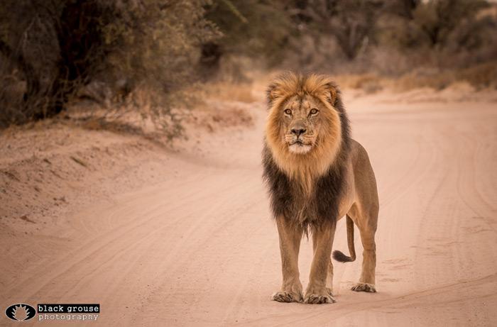 black-maned-lion-kgalagadi