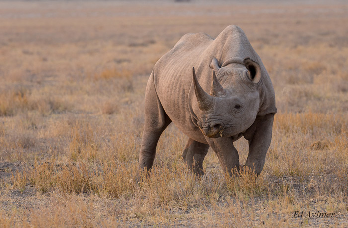 Etosha has one of the biggest free-roaming populations of black rhinoceros in the world. This rhino was photographed in evening light near Namutoni Camp.