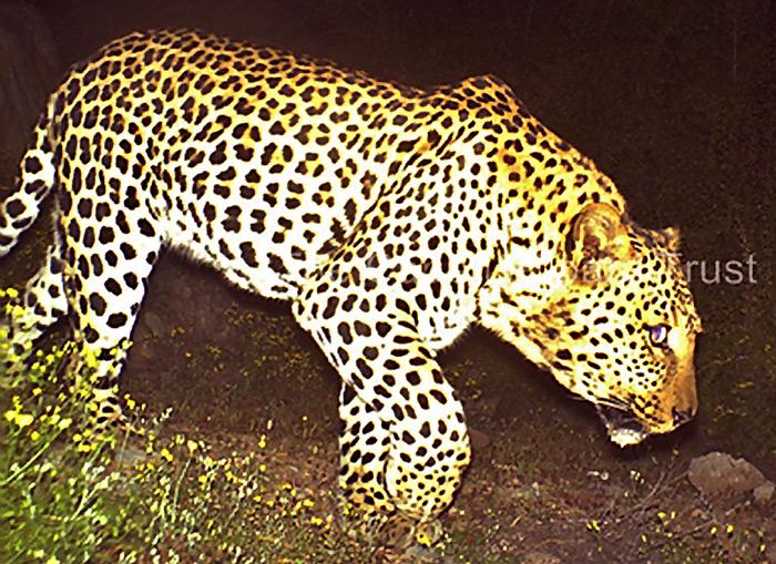 camera-trap-leopard