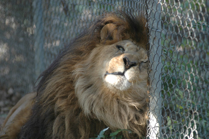 captive-lion