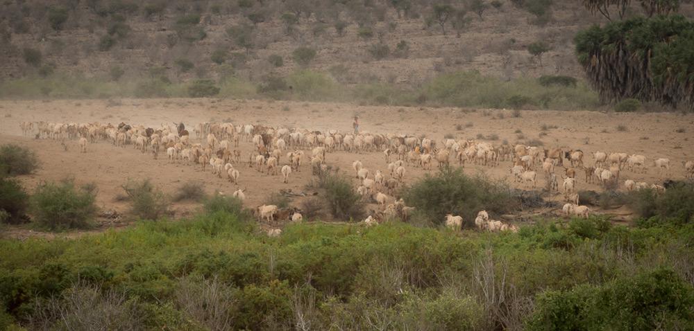 A herd of cattle walking through the park ©Dex Kotze