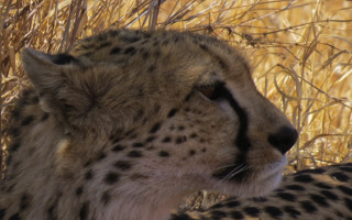 cheetah-conservation