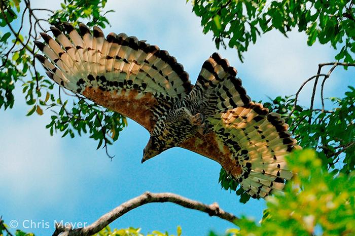 hunting-eagle-in-kasanka-bat-migration