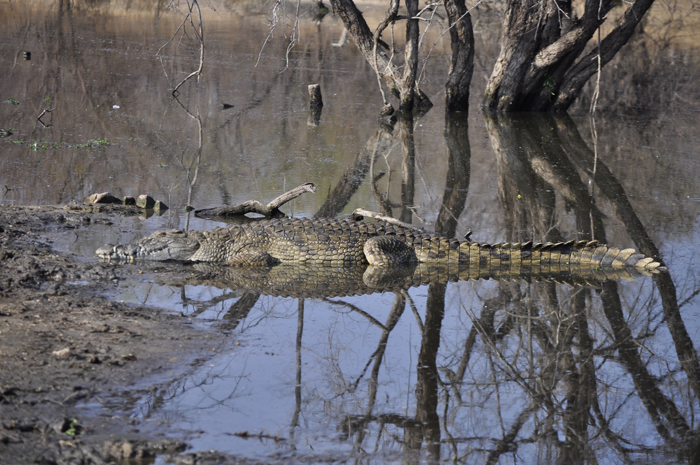 crocodile-full-view