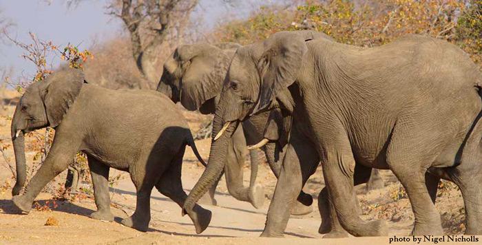 elephant-by-nigel-nicholls