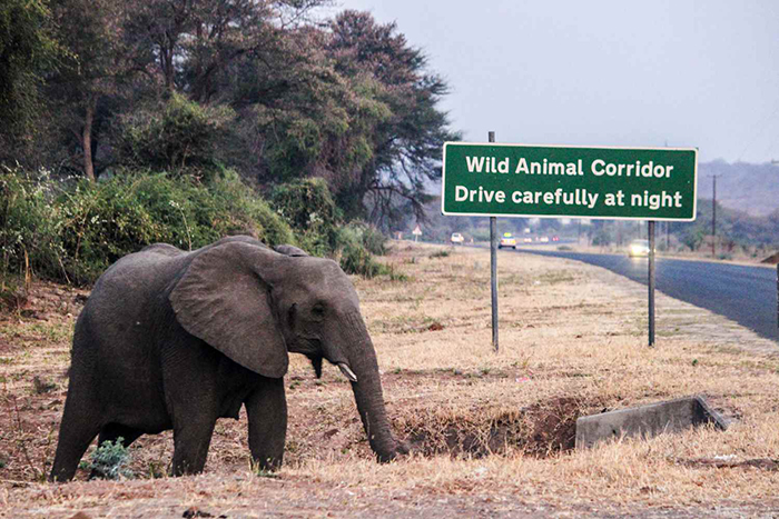 elephant-crossing-at-wildlife-corridor