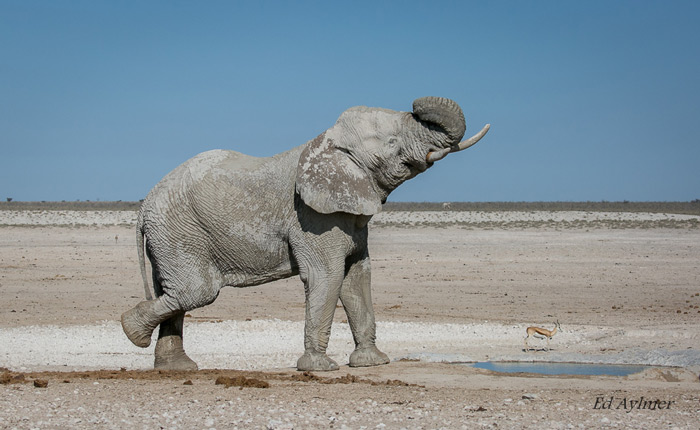 After enjoying a drink and mud bath at Nebrownii Waterhole, this elephant decided to put on a show for the onlookers.