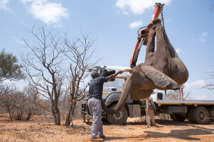 elephant-relocation-lowveld