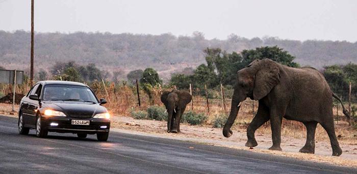 elephants-crossing