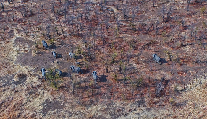 elephants-drone