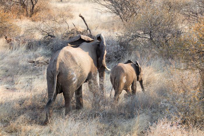 elephants-limpopo