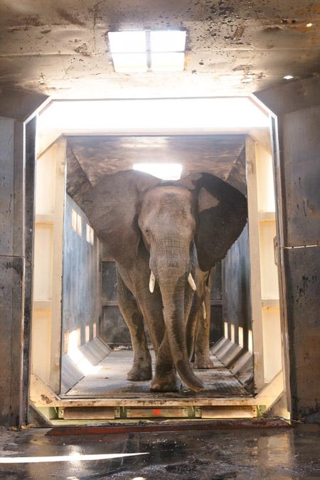 elephants-relocation