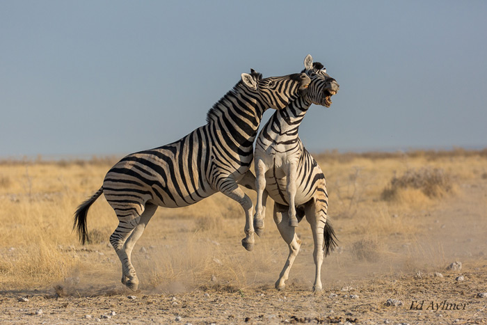 These zebras were part of a bigger herd and decided to move off and settle a score. One has to be patient and watch for any change in animal behaviour in order to anticipate action.